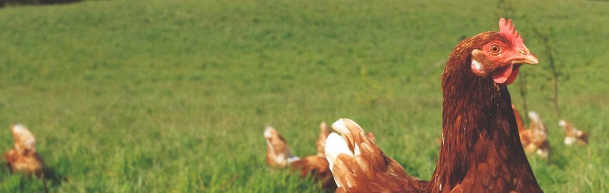 Hen Pasture Free Range